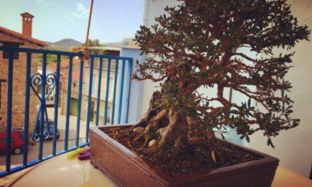 Mi bonsái es un olivo