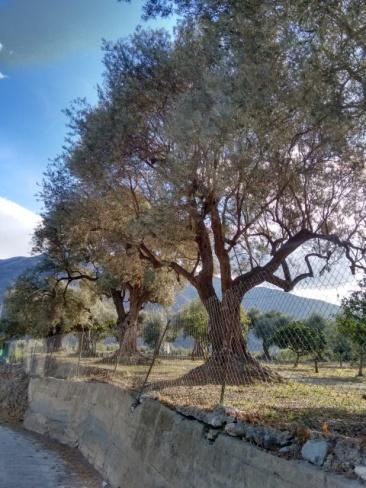 Olivos gigantes