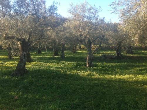 Campo olivalverde